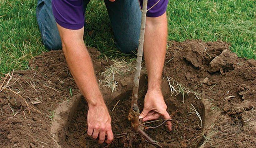 Plantarea unui copac, Foto: sovetclub.ru