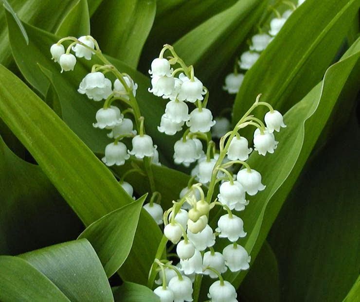 Lacramioara, Foto: hellowflower.blogspot.com