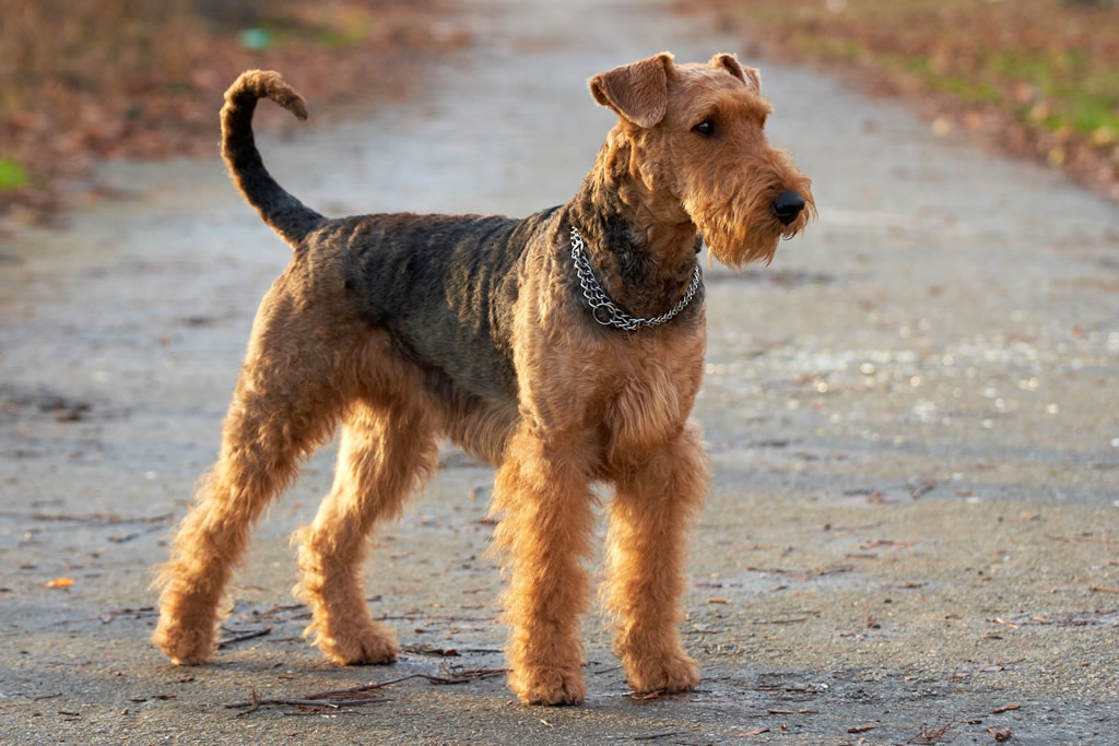 Airedale Terrier Foto: animalsadda.com