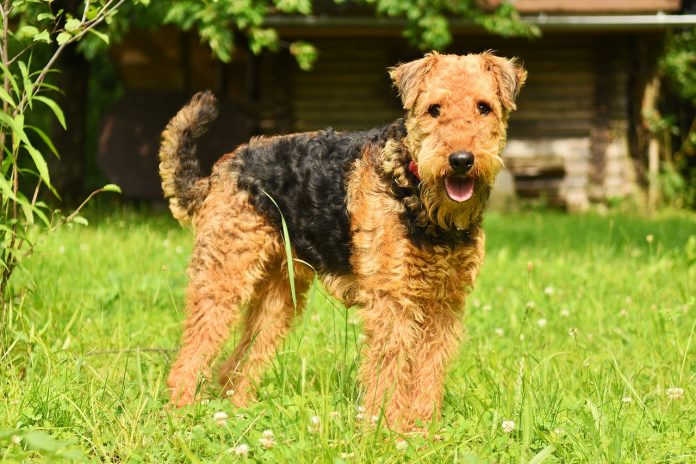 Airedale Terrier - cel mai mare Terrier din lume