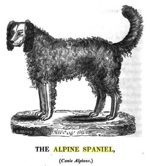 Alpine-Spaniel