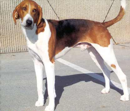 American-Foxhound