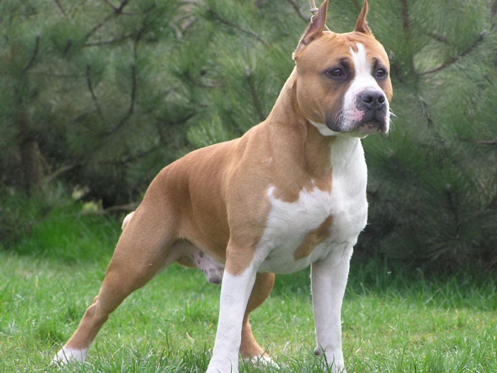 American Staffordshire Terrier Foto: www.zastavki.com