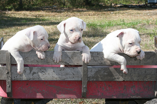 Antebellum-Bulldog