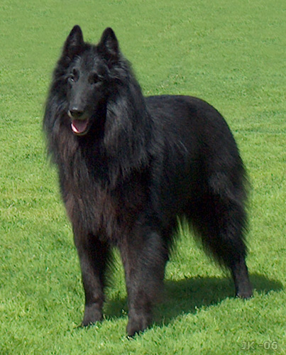 Belgian-Shepherd-Dog-Groenendael