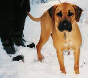 Blackmouth-Cur