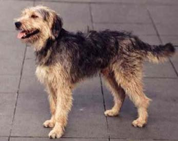 Bosnian-Coarse-haired-Hound
