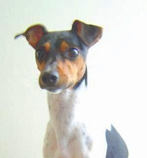 Brazilian-Terrier