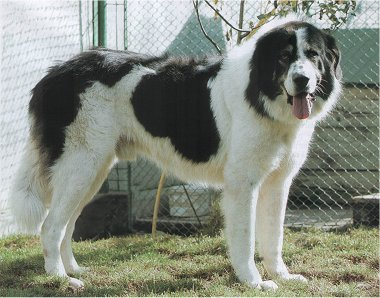 Bucovina-Shepherd-Dog