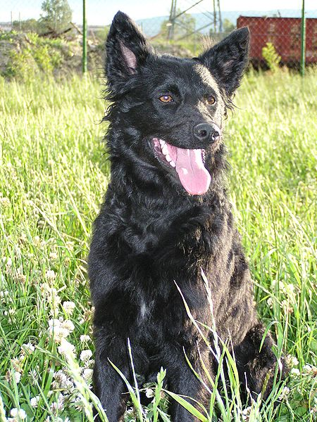 Croatian-Sheepdog