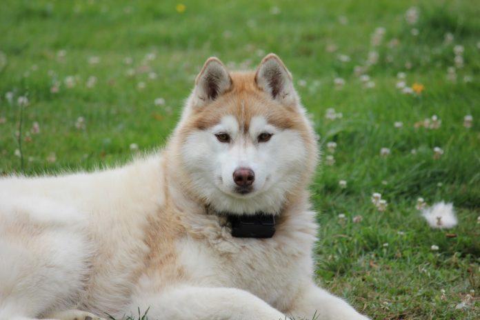 De ce iubim câinii Akita Inu - câinele Japonez de pază și protecție