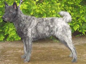 Dutch-Shepherd-Dog