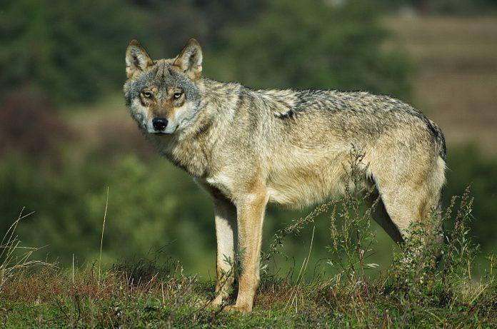 Familia Canis Lupus - lista completă a tuturor raselor de câini