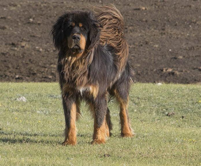 Mastiff Tibetan - câinele de 1 milion de euro