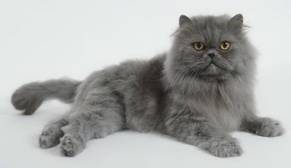 Pisica persana, Foto: jobspapa.com