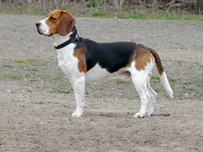 Rasa Beagle - cel mai mic câine de vânătoare