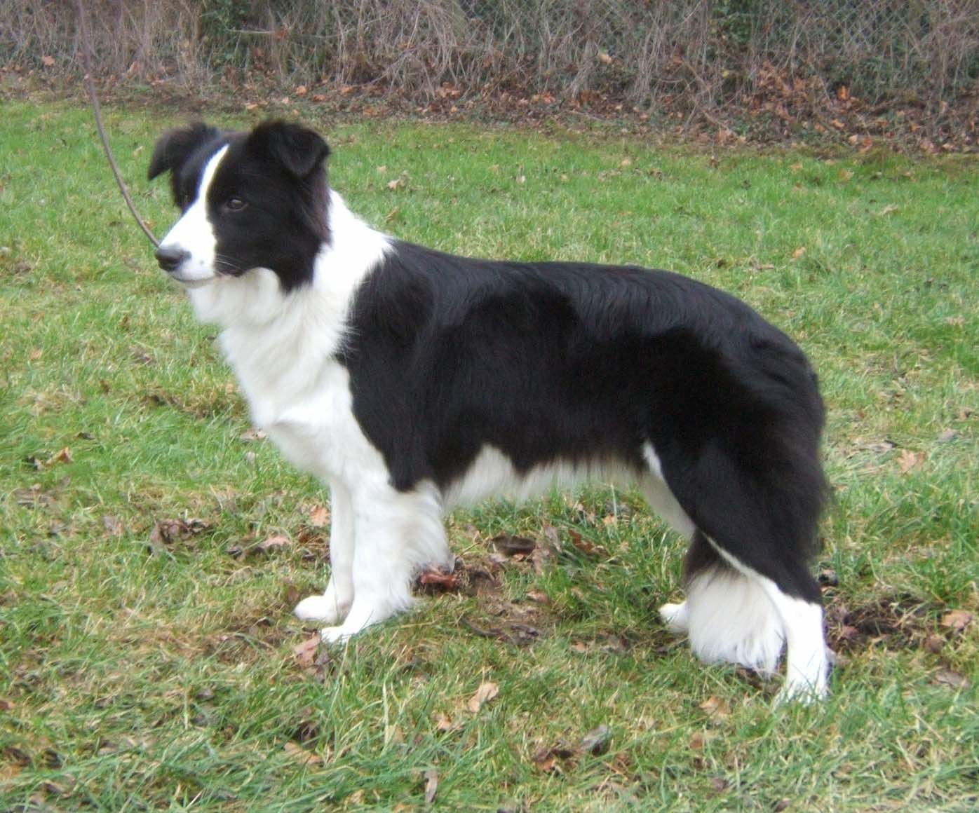 Border Collie Foto: www.breederretriever.com