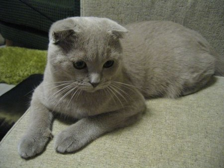 Pisica scottish fold