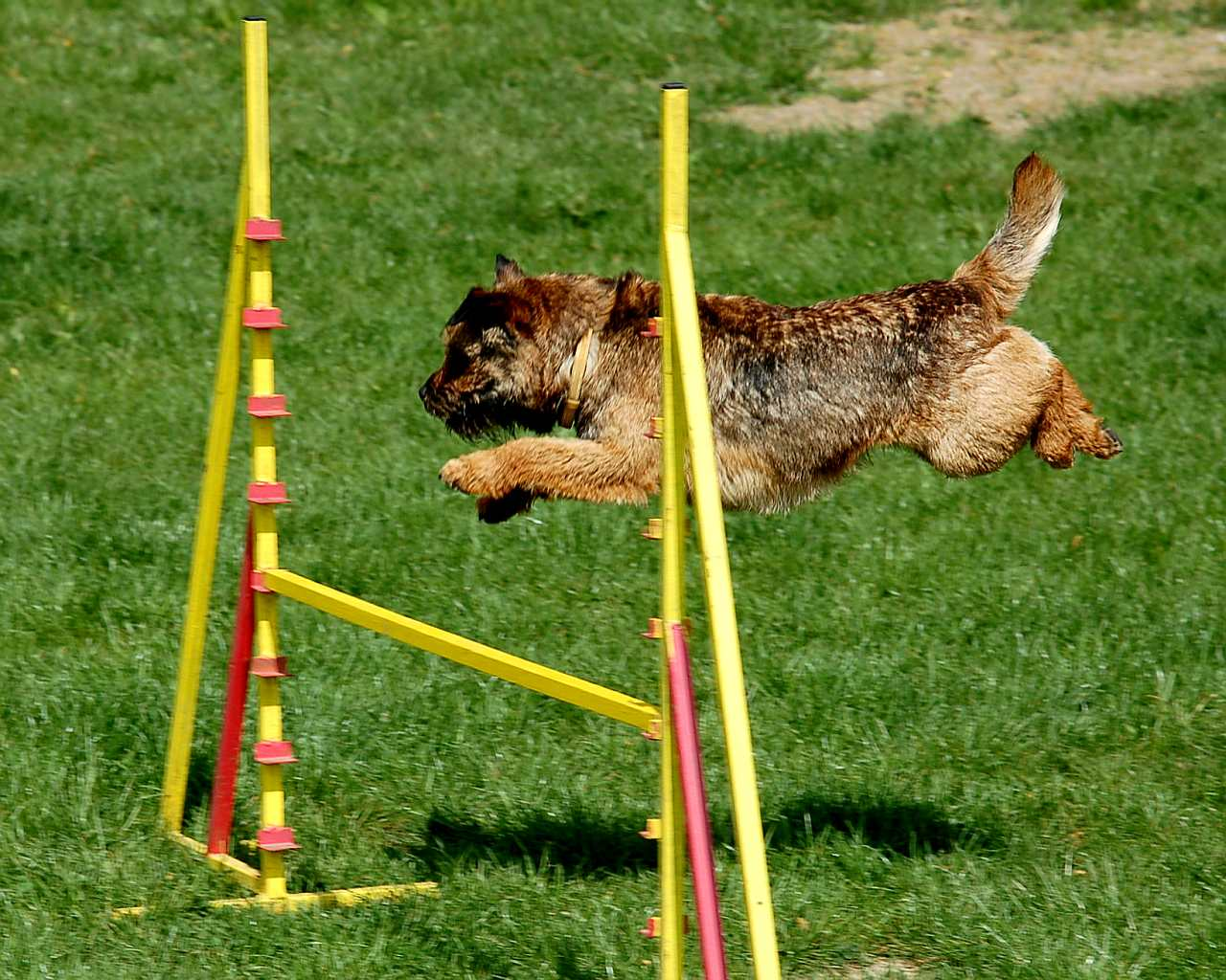 Border Terrier agilitate