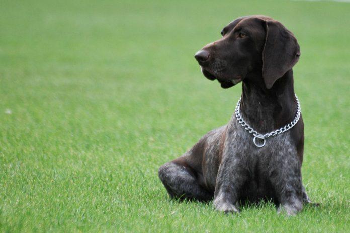 Cel mai potrivit câine de vânătoare pentru familie - rasa brac german cu par scurt