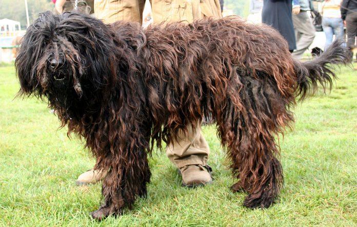 Cum poate un câine infiorător să fie atât de iubitor - Fă cunoștință cu câinele Bergamasco!