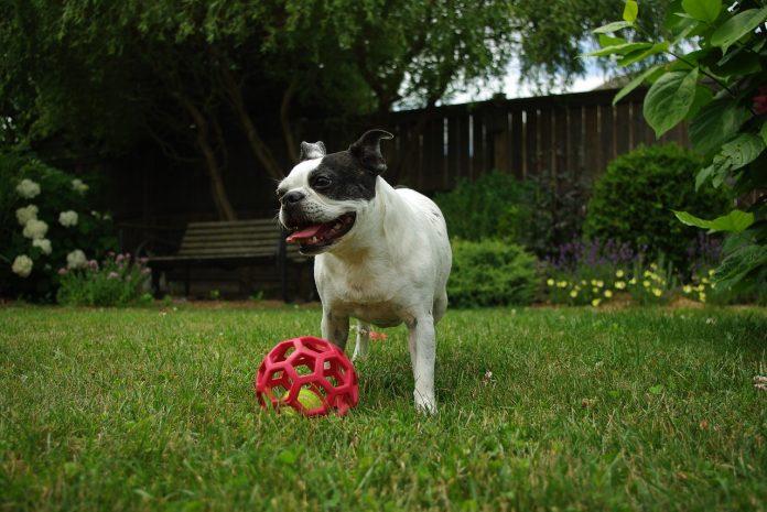 Distrează-te în parc cu un câine jucăuș din rasa Boston Terrier