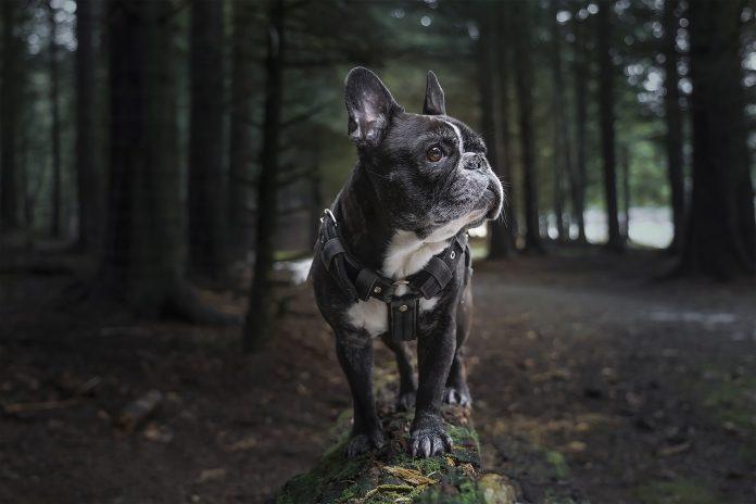 Iată ce poate n-ai știut despre bine cunoscutul câine din rasa Bulldog Francez