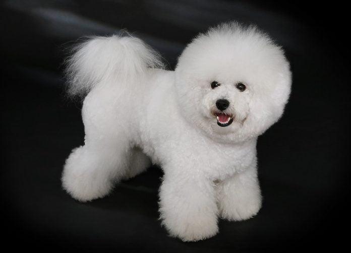 Nu-ți va veni să crezi cât este de frumos - câinele Bichon Frise