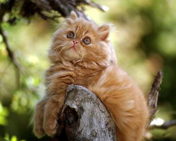 Pisica persana maro, Foto: wallpaprezt.com