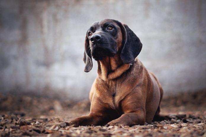 Rasa Bloodhound - câinele folosit în detectarea urmelor care a prins peste 600 de infractori