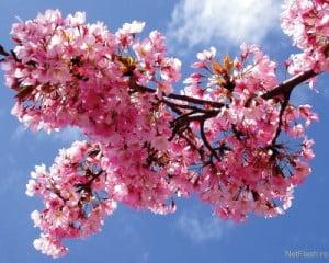 flori-cires-300x240.jpg