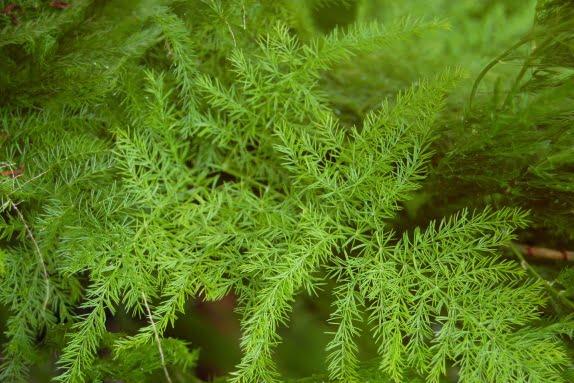 Asparagus, Foto: ladyspecial.ru