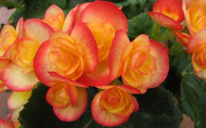 Begonia, Foto: lenzor.com