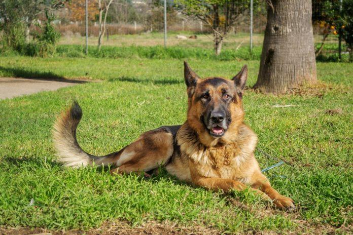 Câinii polițiști - cei mai disciplinați dintre cei mai buni prieteni ai omului
