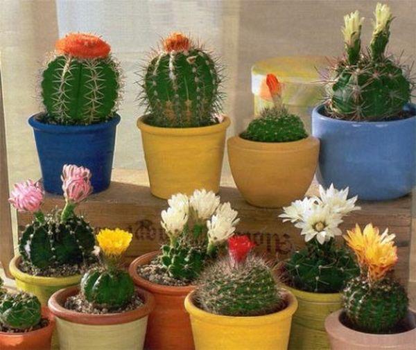 Cactusi, Foto: wazon.info