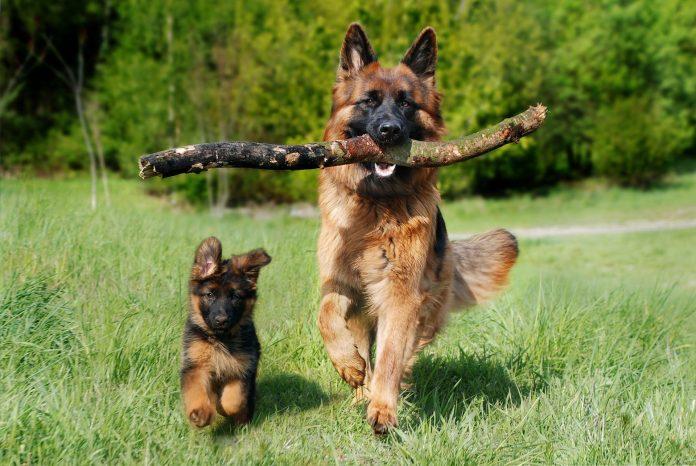 Ciobănesc German sau câinele-lup - cea mai răspândită rasă de câini din lume