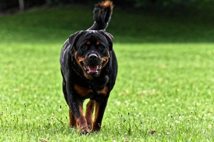 De ce să ai un Rottweiler ca animal de companie