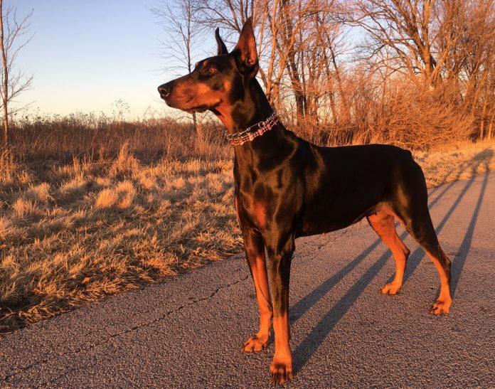 Iată de ce să ai un Dog German - Apollo-ul tututor câinilor