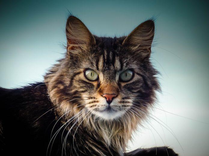 Maine Coon, prima rasă de pisici din America