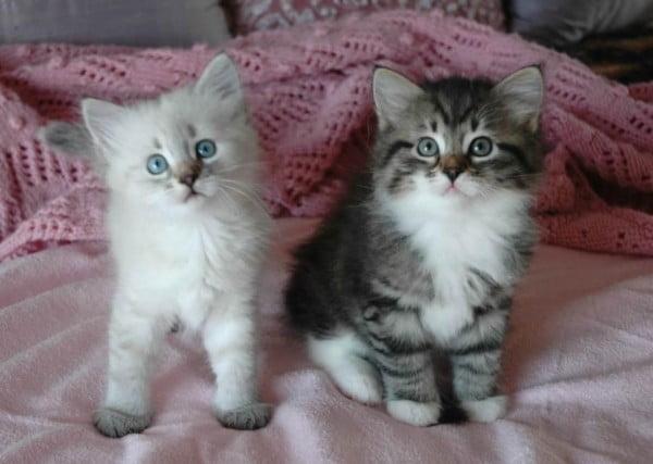 Pisica Siberiana, Foto: free-pet-wallpapers.com