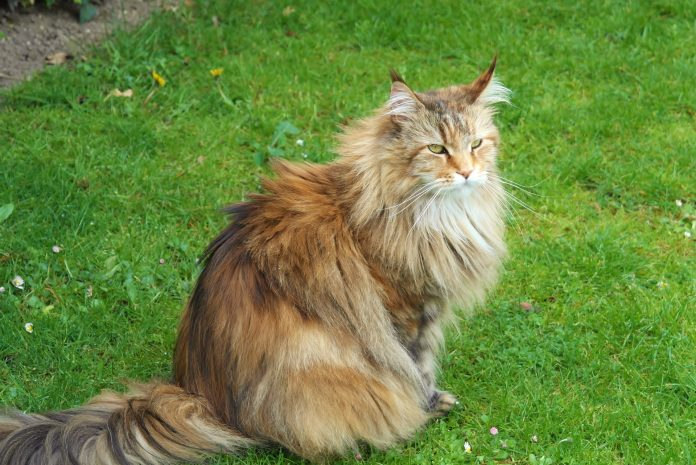 Pisica națională a Rusiei - pisica siberiană este cea mai impunătoare rasa de pisici