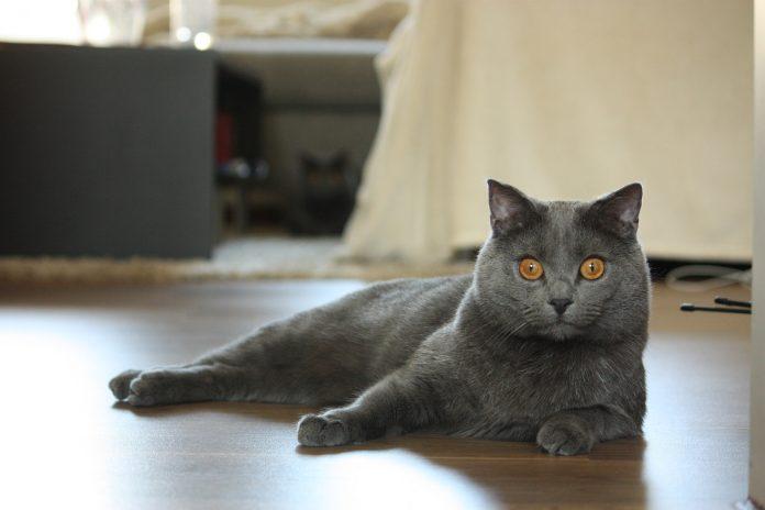 Pisicile Mănăstirii Chartreux - povestea fascinantă a pisicilor Chartreux