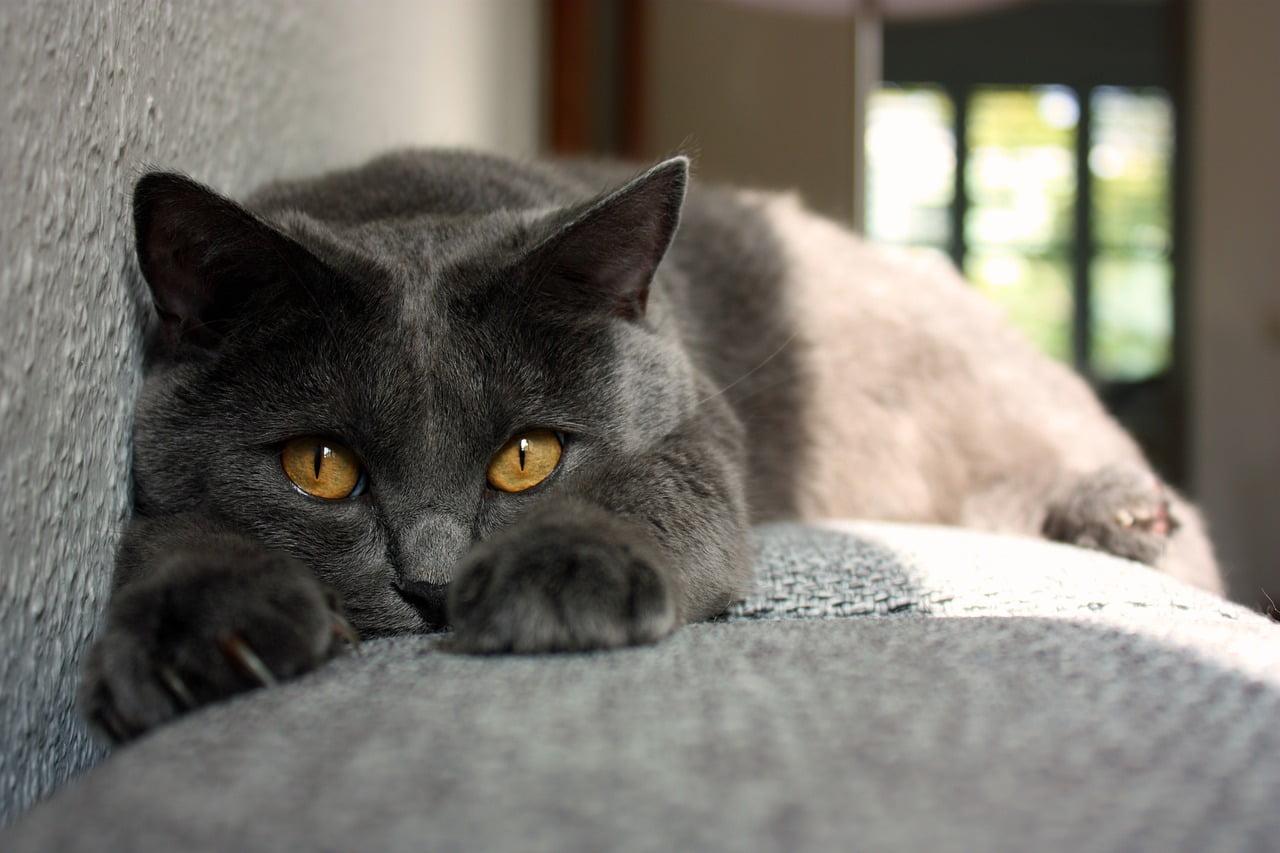 Pisicile Mănăstirii Chartreux