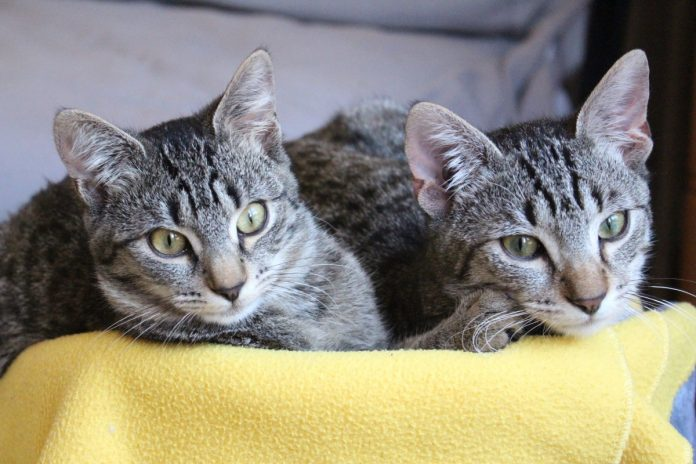 Pisicile din rasa Europeană sau pisicile de casă - ce știm despre cele mai răspândite pisici