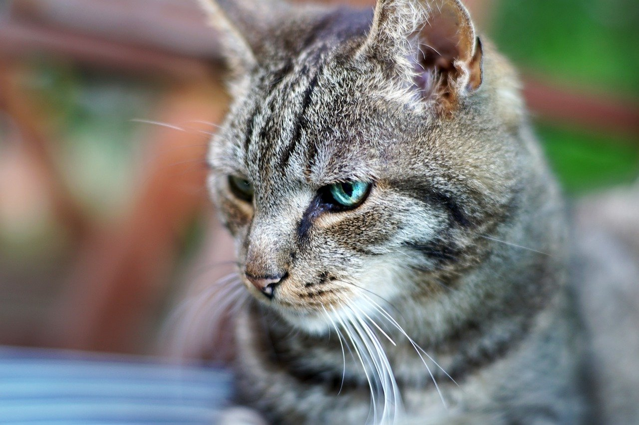 Pisicile din rasa Europeana
