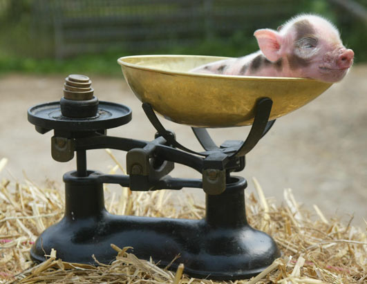 Porcusor ca animal de companie, Foto: shaunamorse.blogspot.ro