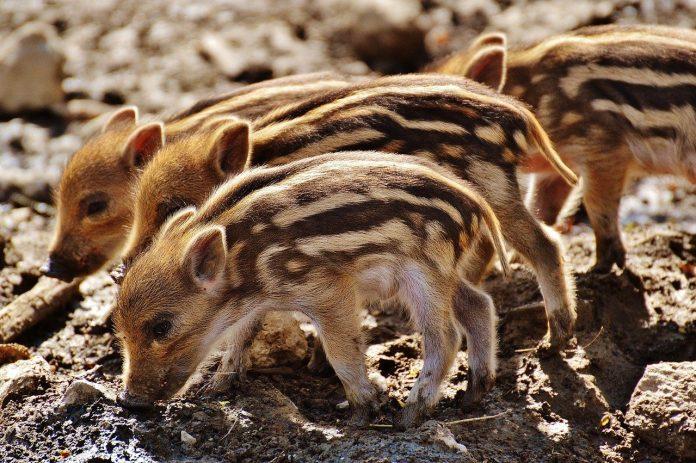 Porcusorul de companie, un animalul preferat al vedetelor internationale