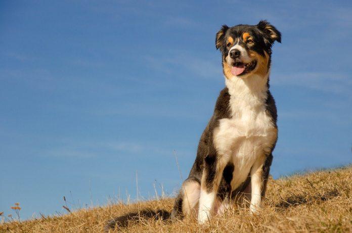 Rasa de câine Ciobanesc australian și principalele caracteristici care-l fac unic