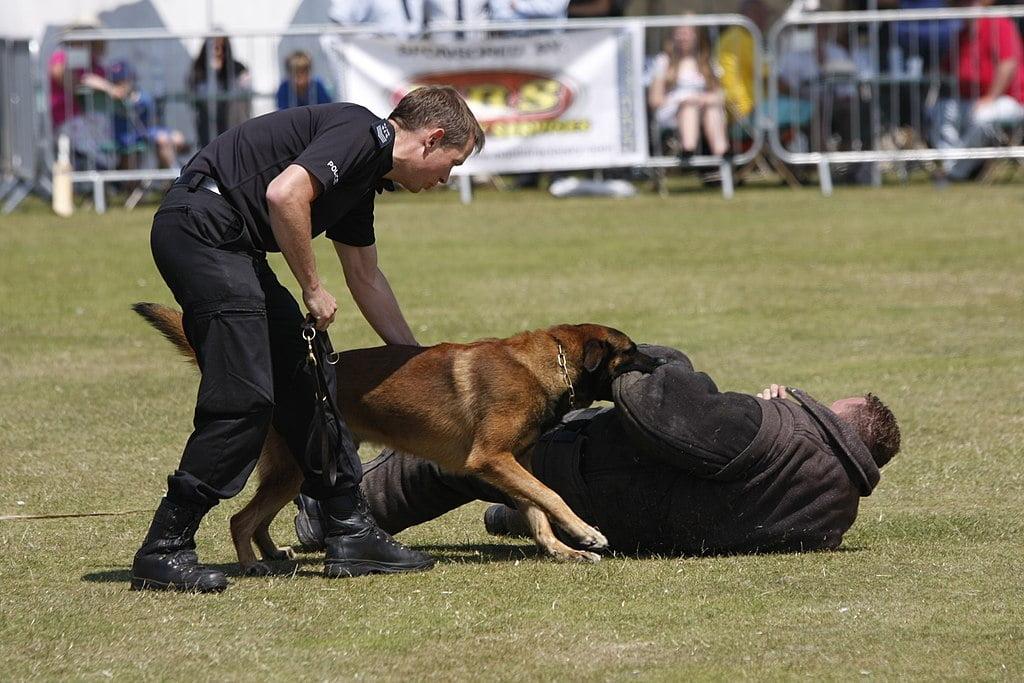 caine politist care prinde un infractor