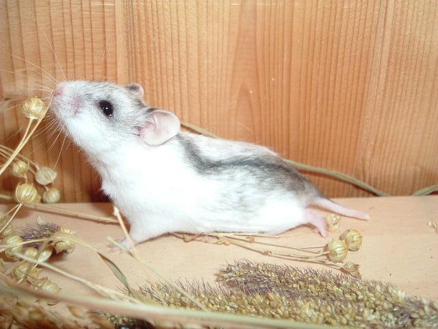 Hamsterul chinezesc Foto: informati-despre-animale.blogspot.com